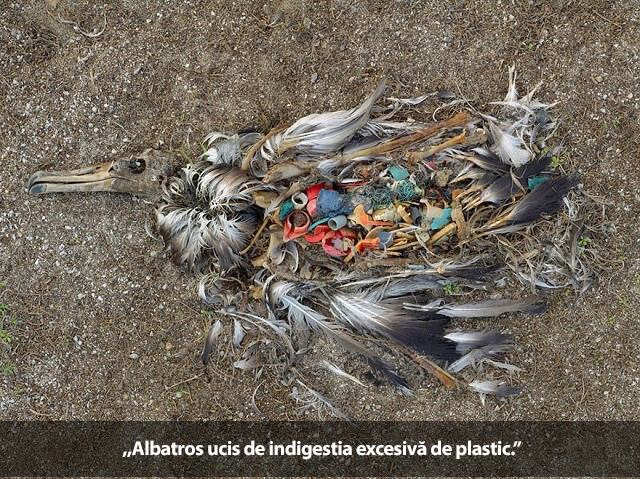 albatros plastic ingitit
